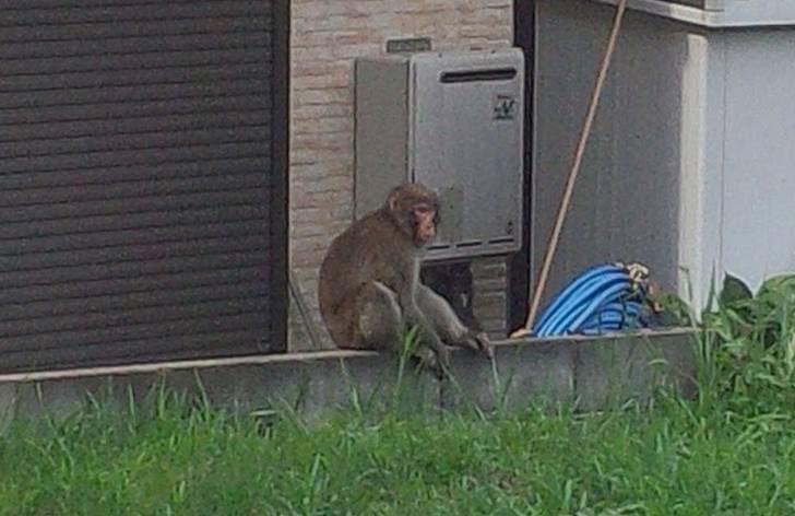 ニホンザル(2015年8月21日 原谷で撮影)