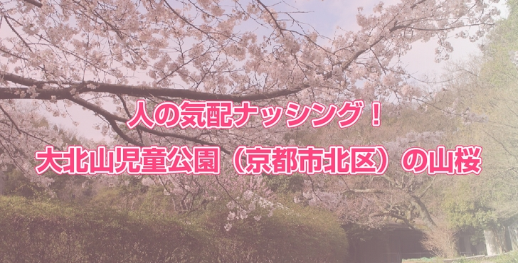 人の気配ナッシング!大北山児童公園(京都市北区)の山桜