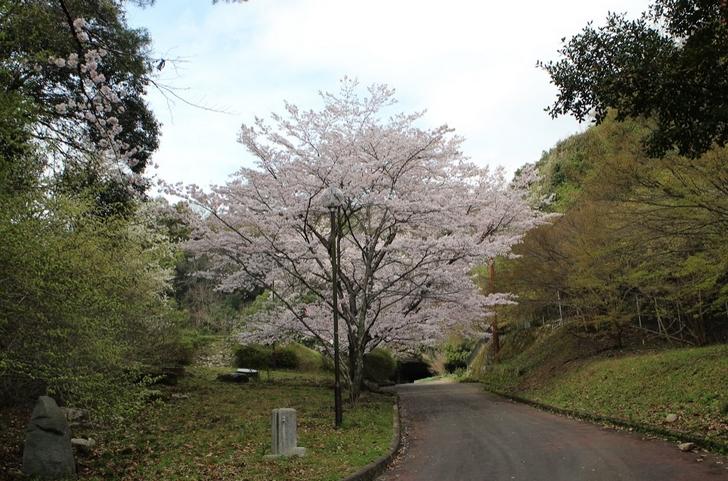 入口の山桜