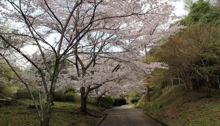 大北山児童公園の桜の写真