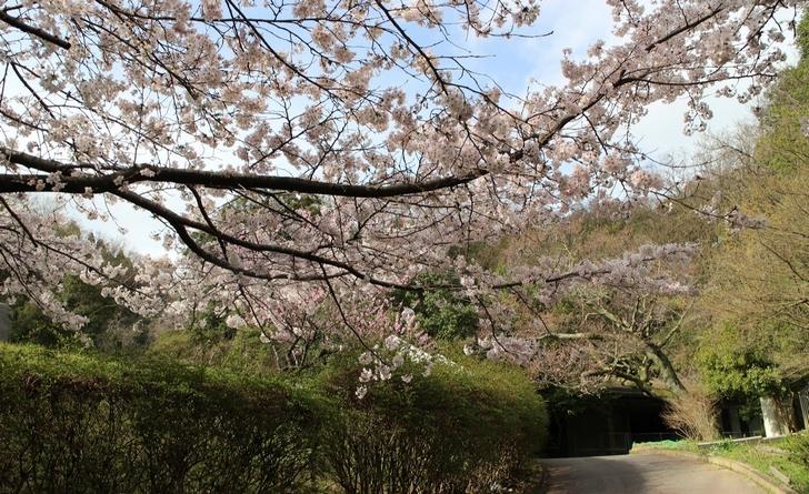 大北山児童公園の桜の写真2