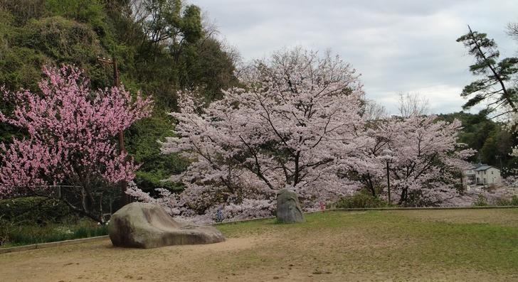 大北山児童公園の桜の写真3