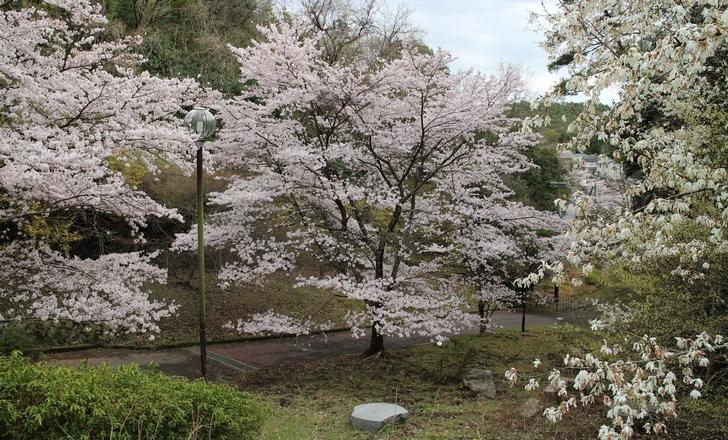 大北山児童公園の桜の写真4