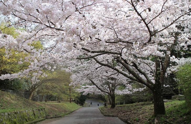 大北山児童公園の桜の写真1