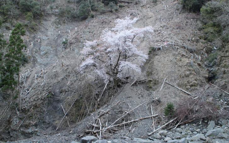 奇跡の桜の拡大写真2
