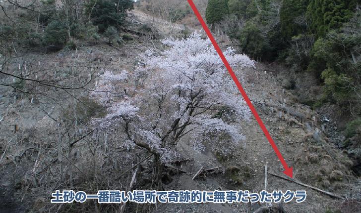 奇跡の桜の拡大写真1