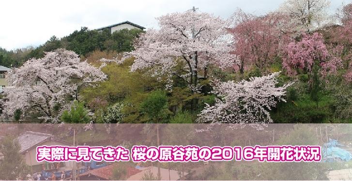 実際に見てきた 桜の原谷苑の2016年開花状況