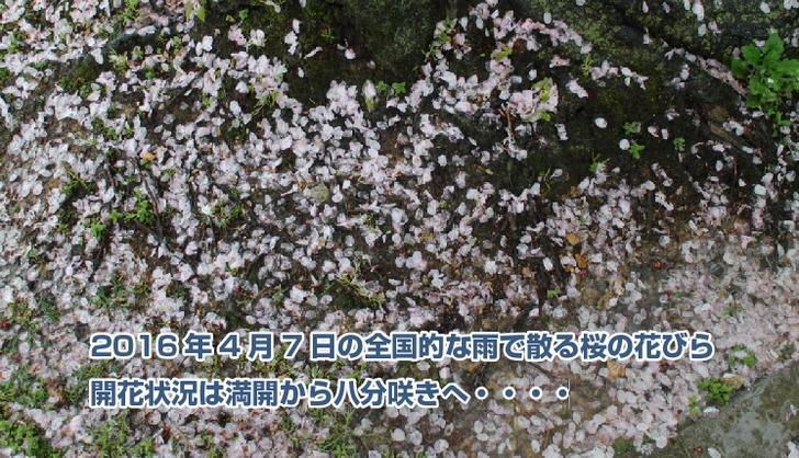 雨で散る京都の桜