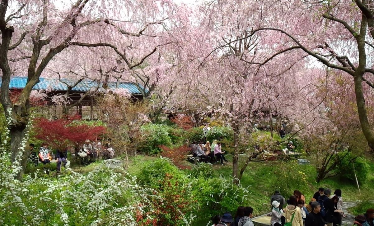 原谷苑の満開時(2016年4月7日撮影)