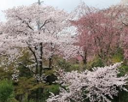 原谷苑 桜
