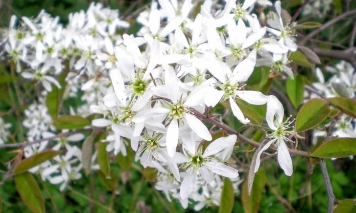 ジューンベリー(June Berry)の花