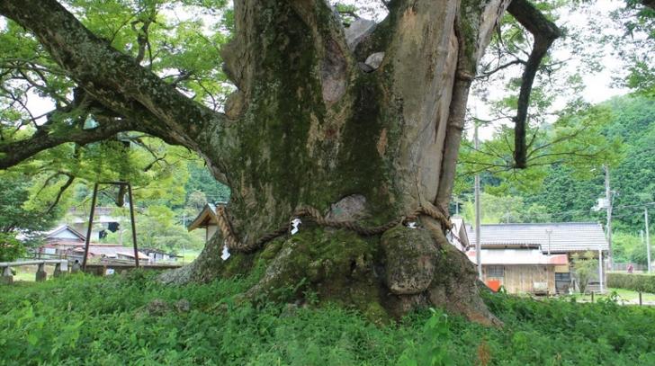 幹の太さは13メートルにもなります