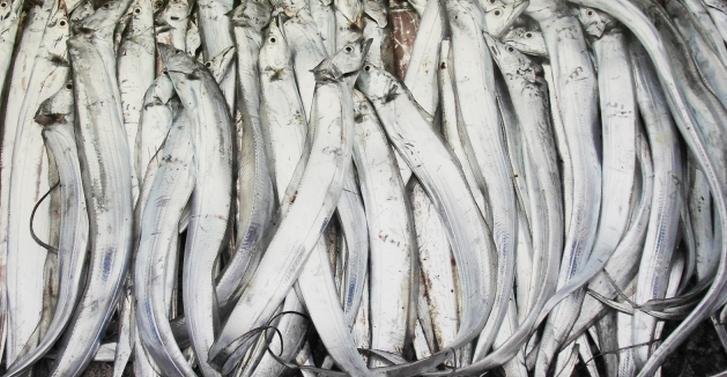 9/24 青空レストランで太刀魚が紹介