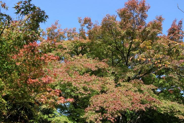 日当たりの良いところだけ紅葉づいています