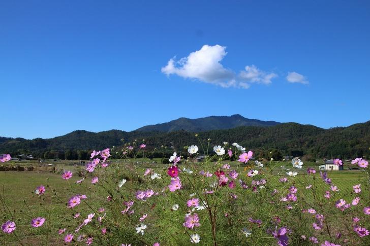 広沢池のコスモス 嵯峨野は京都でも観光客が少なめのスポットです