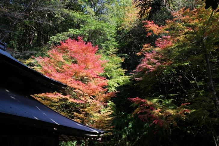 大徳寺讃州寺の紅葉も来週くらいがピークでしょう