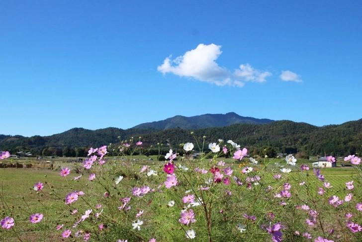 快晴だった目の前の田んぼに秋桜(コスモス)がきれいです