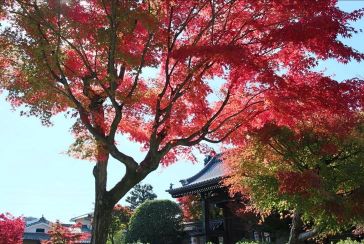 京都の妙満寺はあまり知られていませんが紅葉がキレイな場所です