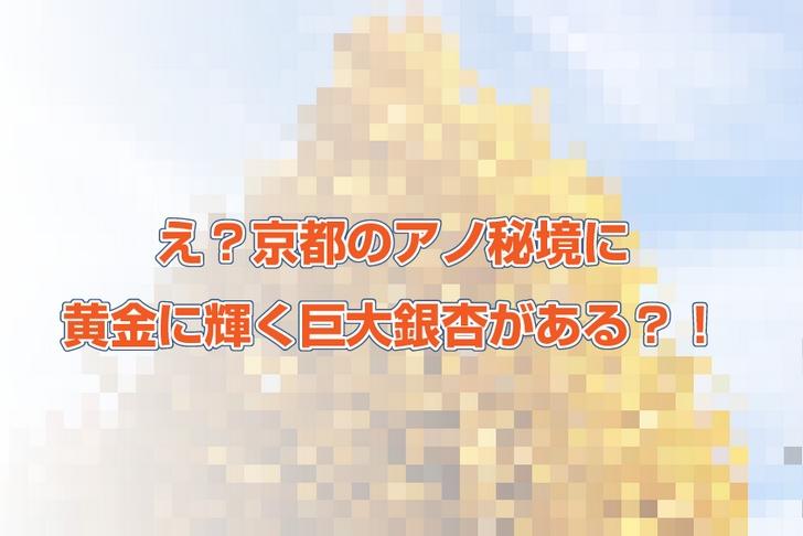 京都のとある場所に黄金に輝く巨大銀杏(いちょう)がある?!