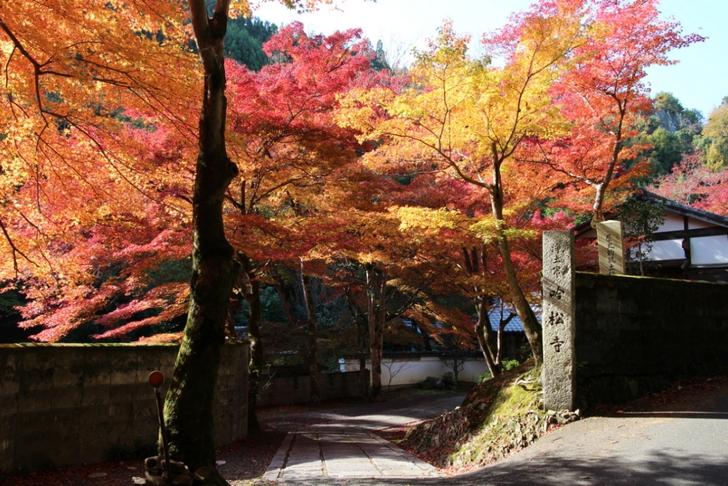 京都鷹峯「吟松寺」 11月18日にピークでした