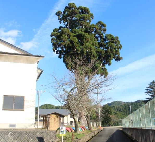 写真は12月2日の「京都市立 京北第三小学校」の巨木です