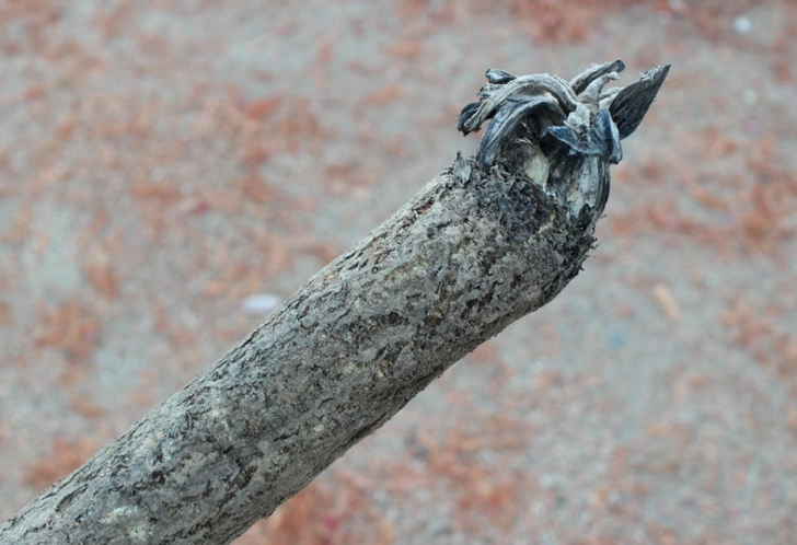普通のゴボウよりも長く成長させるため表面が丸太のようになります