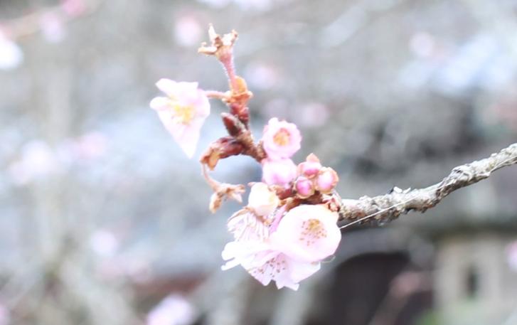 真冬に咲く桜「不断桜」