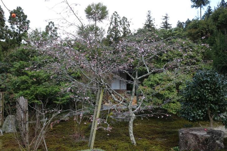 お庭にはいくつかの「不断桜」がありました