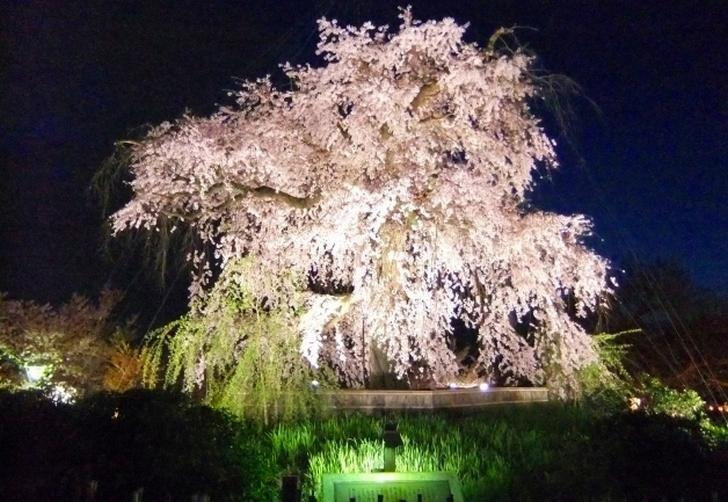 祇園枝垂桜のライトアップ