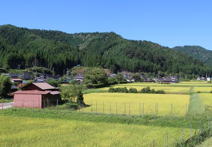 京都・京北の収穫前の田んぼ