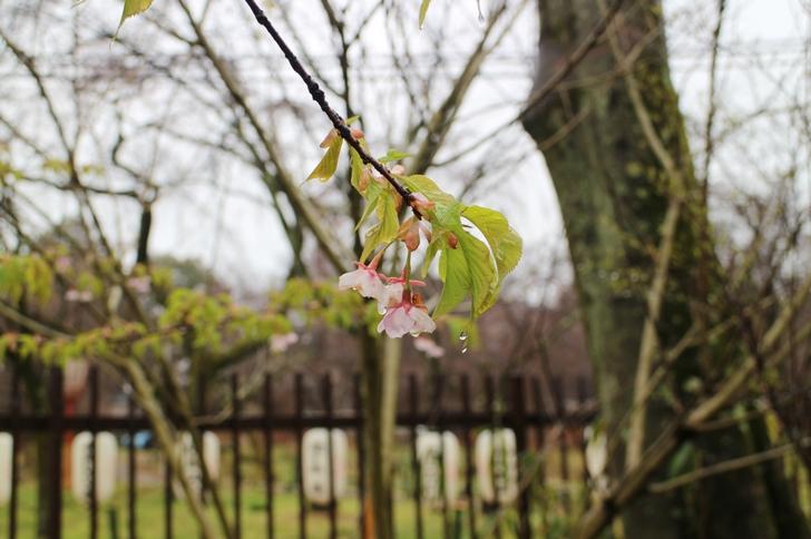 河津桜は一分咲きでまだまだこれからです