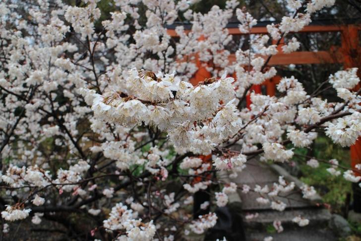 京都・平野神社「桃桜」2017年3月21日撮影