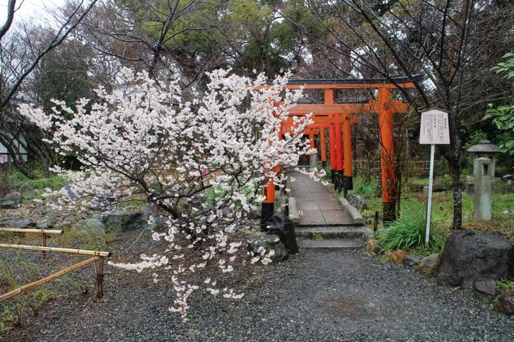 桃桜は境内の2本両方咲いています