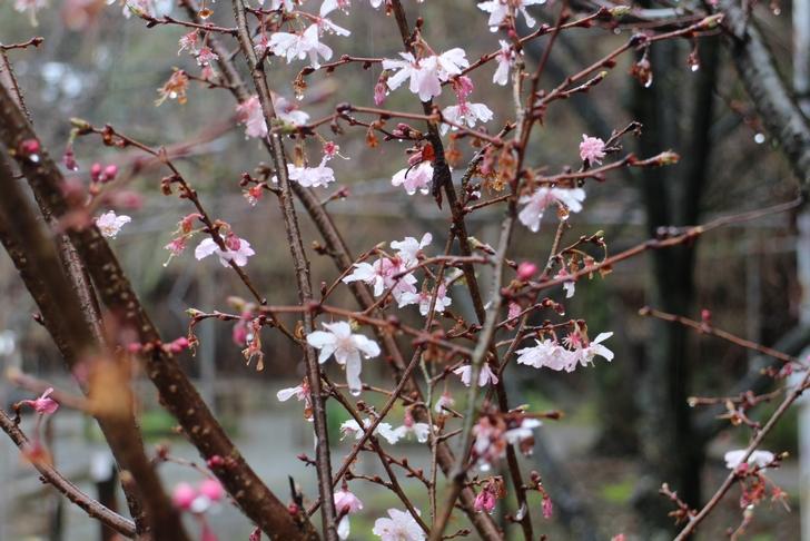 十月桜は冬~春までずっと咲いています