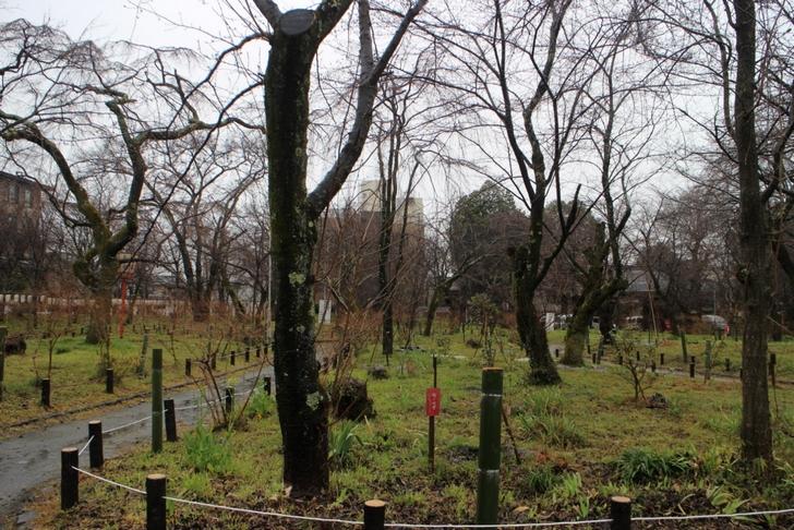 お庭の桜並木はまだ咲いていませんでした