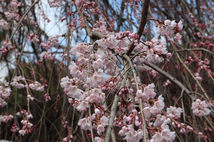 キレイな桜なので満開が楽しみです