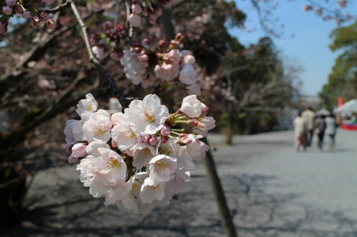 染井吉野(ソメイヨシノ)は東門にあるのが咲いていました