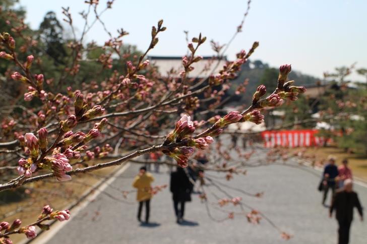 山門へと続く「ソメイヨシノ」はもう開く直前です