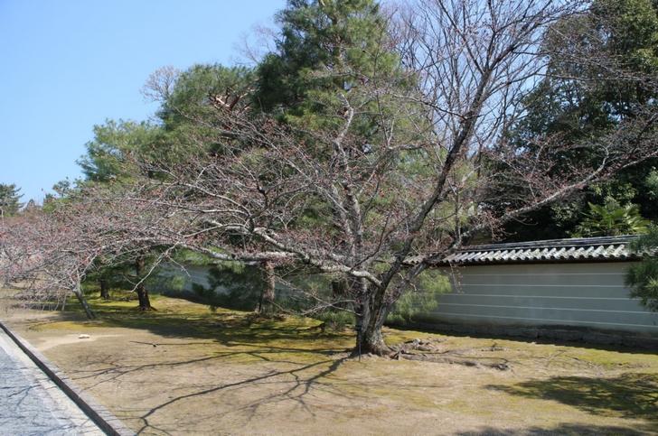 桜の木が参道に並んでいます