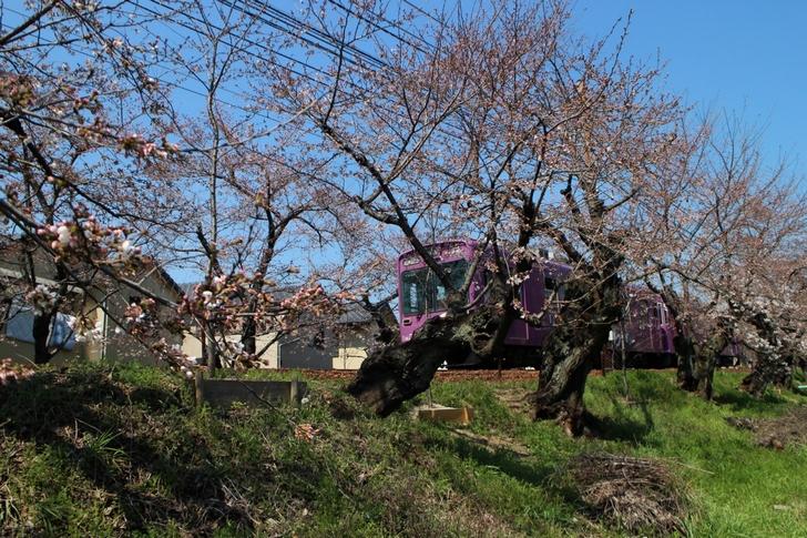 嵐電・桜のトンネルは咲き始めたくらいです