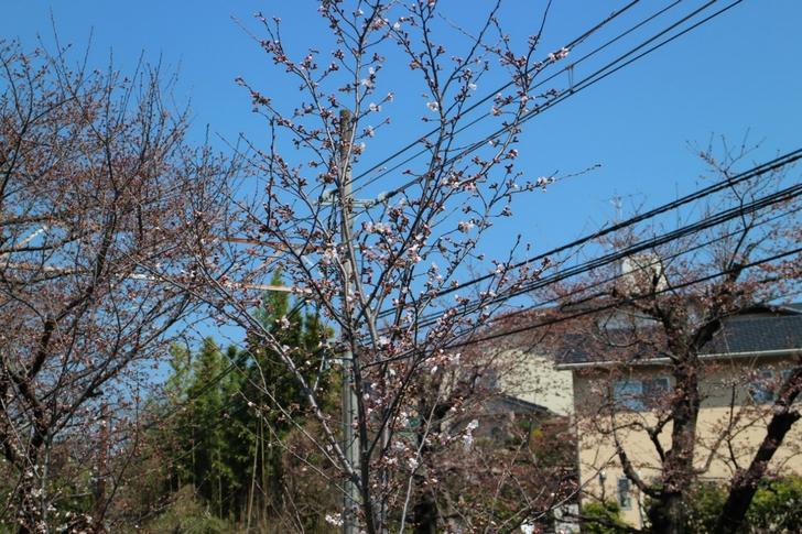 まだツボミの桜が多く一分咲き~二分咲きでした