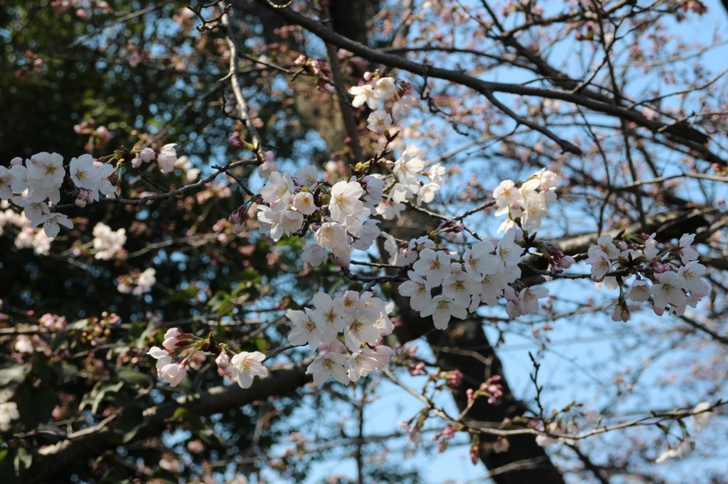 品種はわからなかったのですが「染井吉野」っぽい桜です