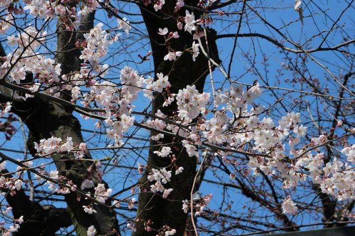 枝の一部にはずいぶんと咲いた枝もありました
