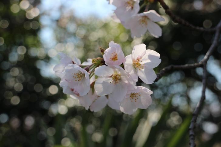 桜のトンネルは嵐電の北野線で楽しめます