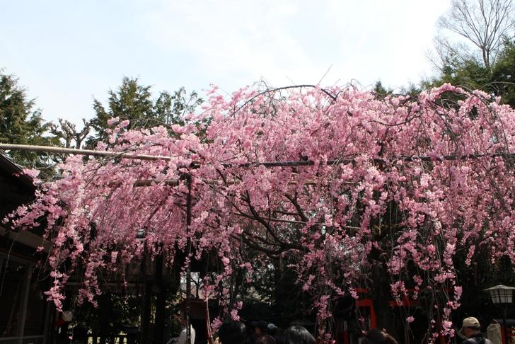 紅しだれ桜 が満開でした