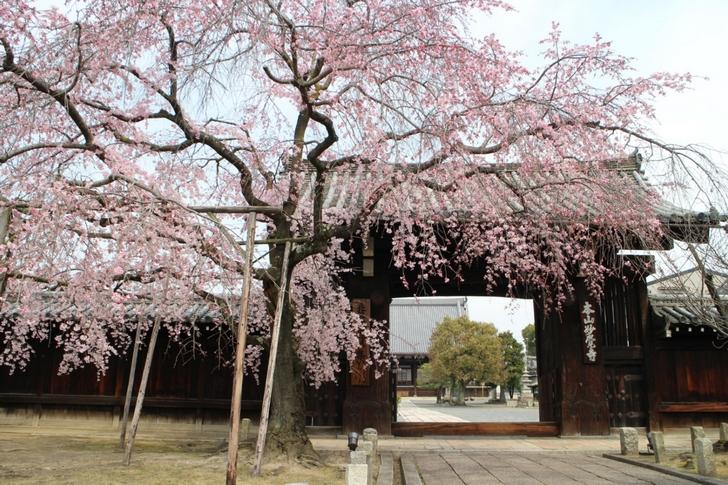 すぐ近くの妙覚寺の桜も満開です