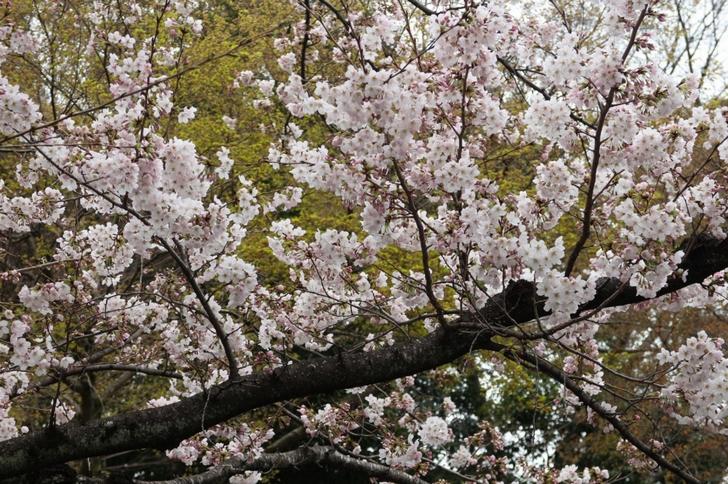 建勲神社の「ソメイヨシノ」