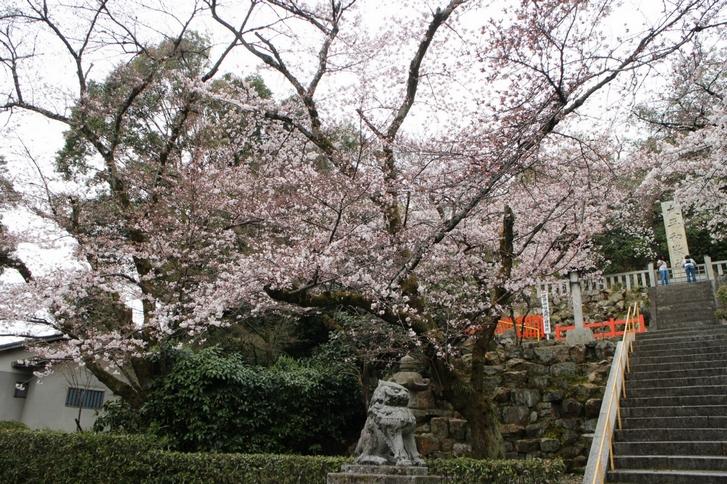 建勲神社の「ソメイヨシノ」は八分咲き
