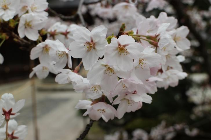 今宮神社の桜