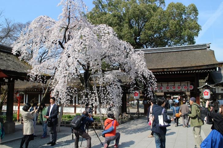 しだれ桜(2017年4月5日撮影)